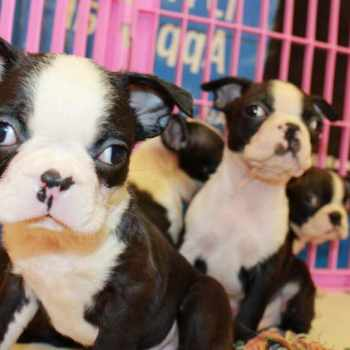 Boston Terrier Puppies For Sale In California