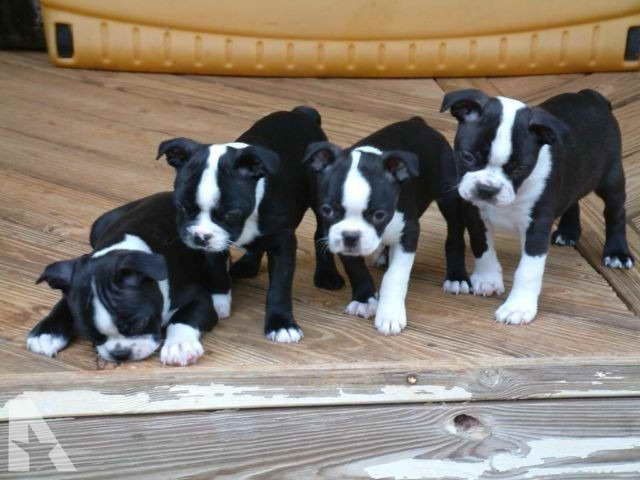 Boston Terrier Puppies For Sale In Georgia
