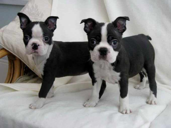 Boston Terrier Puppies For Sale In Houston Texas