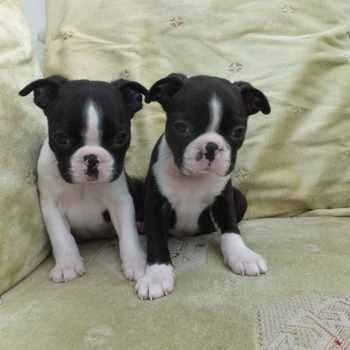 Boston Terrier Puppies For Sale In Kansas