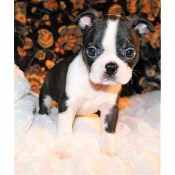 Boston Terrier Puppies For Sale In Louisiana