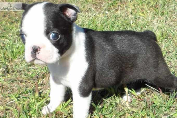 Boston Terrier Puppies For Sale In Mn