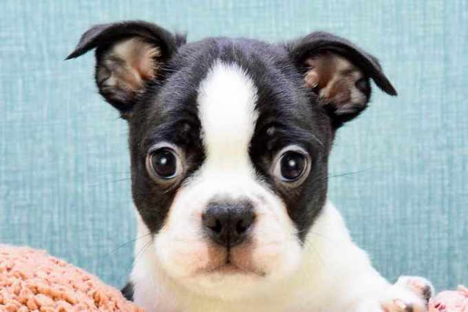 Boston Terrier Puppies For Sale In Ohio Cheap