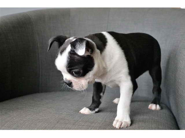 Boston Terrier Puppies For Sale In San Antonio
