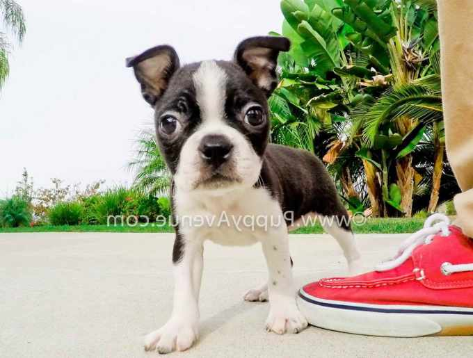 Boston Terrier Puppies For Sale In Southern California