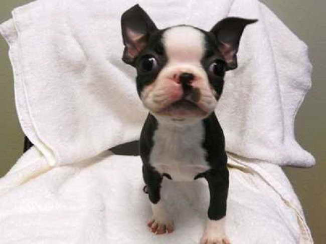 Boston Terrier Puppies For Sale Mn