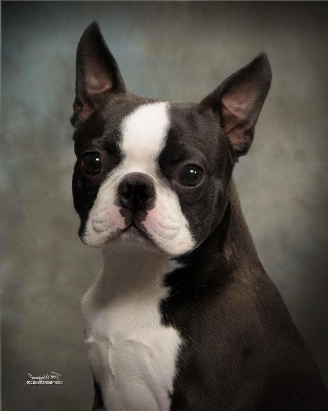 Boston Terrier Puppies For Sale Oregon