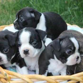 Boston Terrier Puppies For Sale Portland Oregon