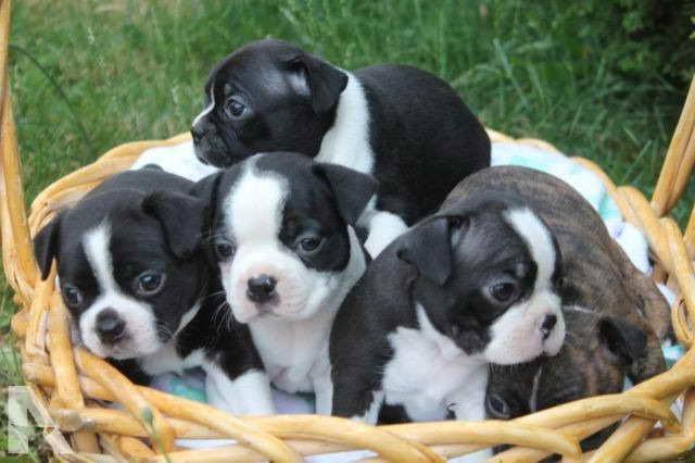 Boston Terrier Puppies For Sale Portland Oregon