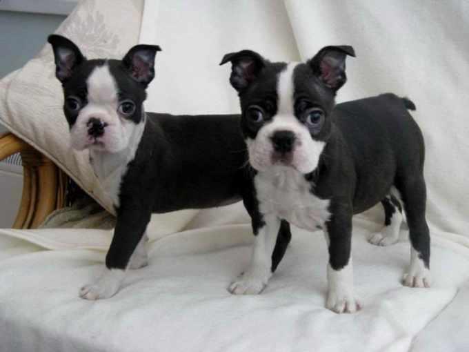 Boston Terrier Puppies Houston Texas
