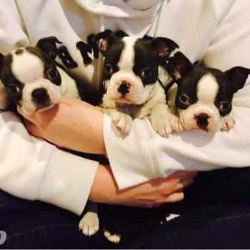 Boston Terrier Puppies Idaho
