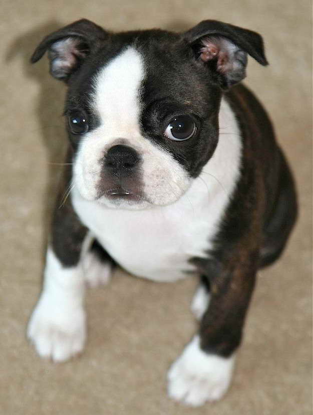 Boston Terrier Puppies Iowa