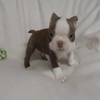 Boston Terrier Puppies Nashville Tn