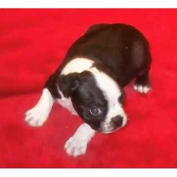 Boston Terrier Puppies Nebraska