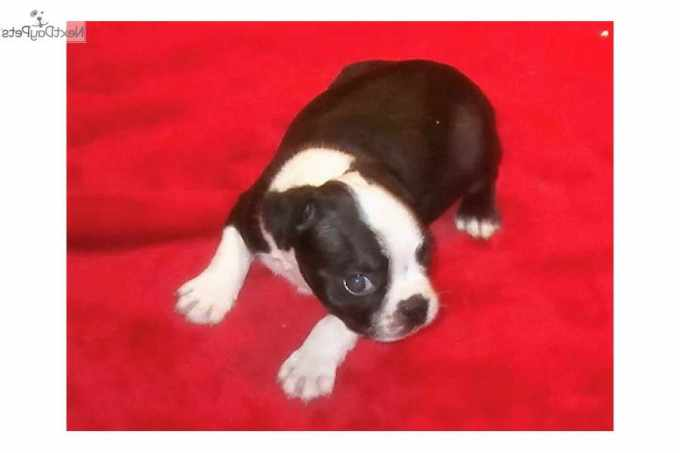 Boston Terrier Puppies Nebraska