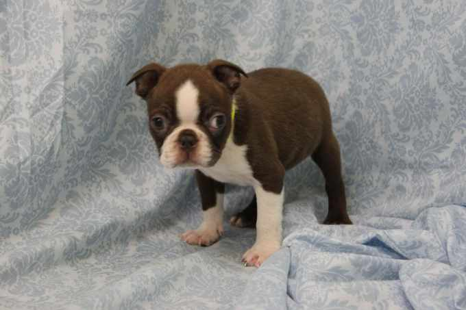 Boston Terrier Puppies New Jersey
