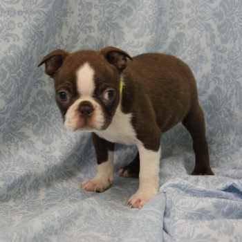 Boston Terrier Puppies Nj