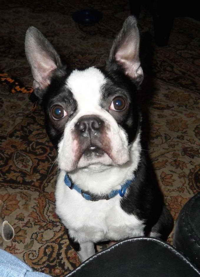 Boston Terrier Puppies North Carolina