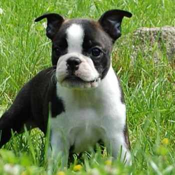 Boston Terrier Puppies Price