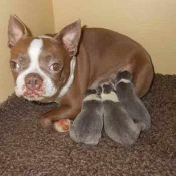 Boston Terrier Puppies Raleigh Nc