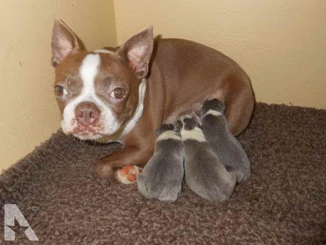 Boston Terrier Puppies Raleigh Nc