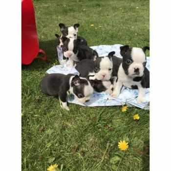 Boston Terrier Puppies Sacramento