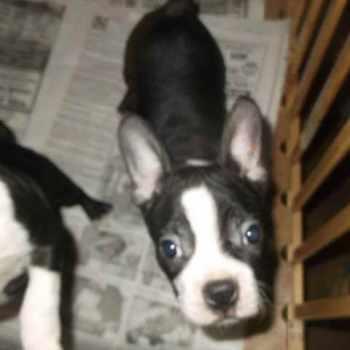 Boston Terrier Puppies St Louis