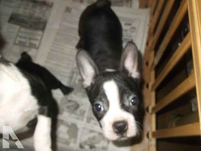 Boston Terrier Puppies St Louis