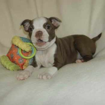 Boston Terrier Puppies Tennessee