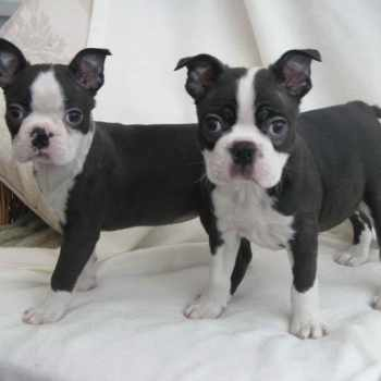 Boston Terrier Puppies Va