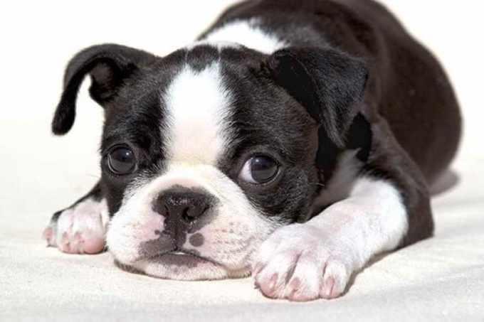 Boston Terrier Puppy Care
