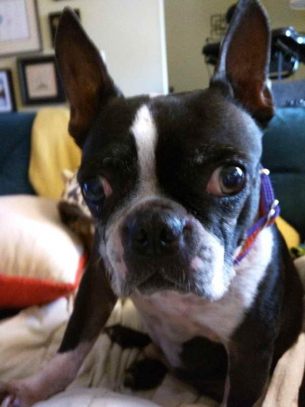 Boston Terrier Puppy Price Range