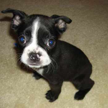 Boston Terrier Puppy Rescue