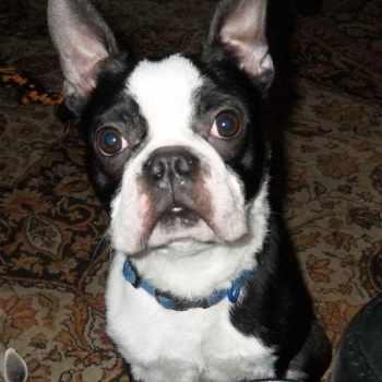 Boston Terrier Rehoming