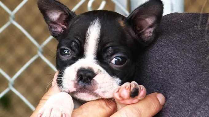 Boston Terrier Rescue Bay Area
