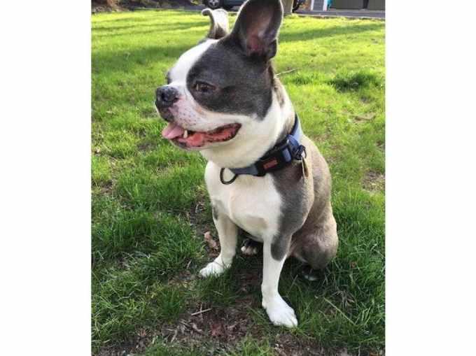 Boston Terrier Rescue Ct