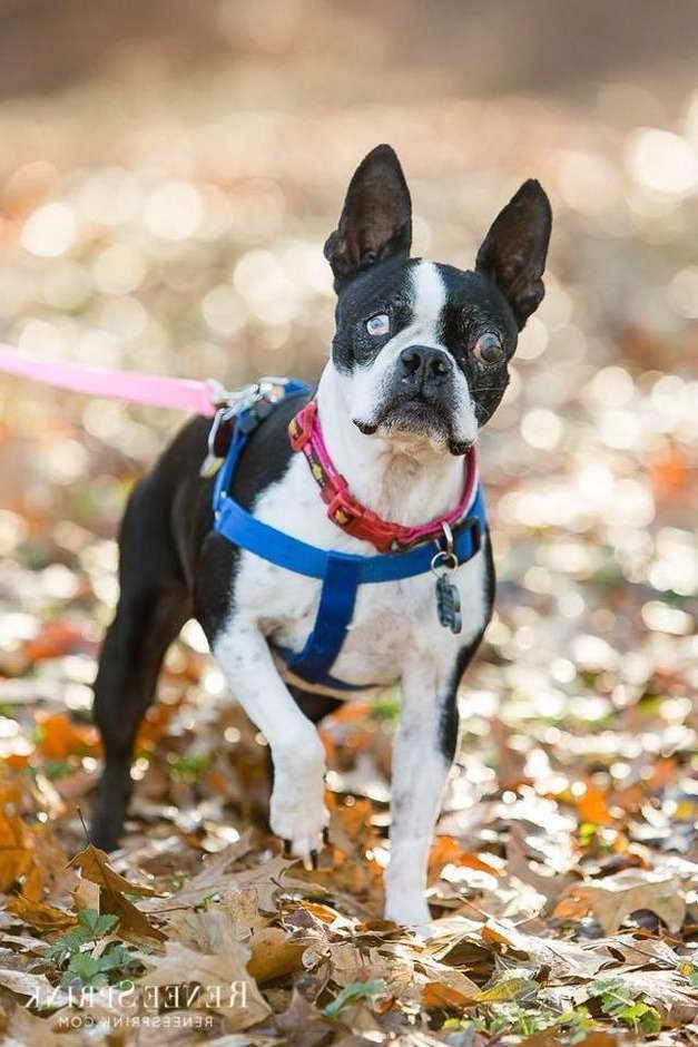 Boston Terrier Rescue Group