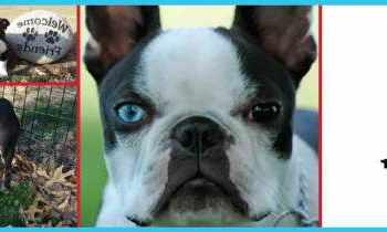 Boston Terrier Rescue Il