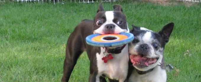 Boston Terrier Rescue Indiana