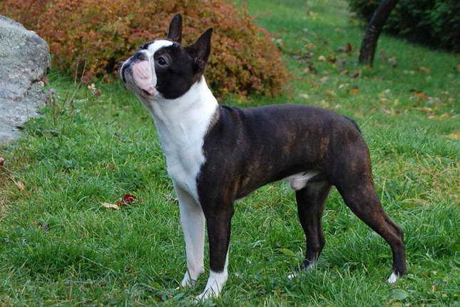 Boston Terrier Rescue Nyc