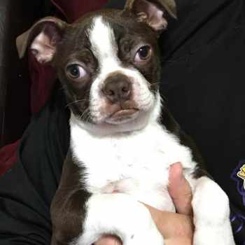Boston Terrier Rescue St Louis