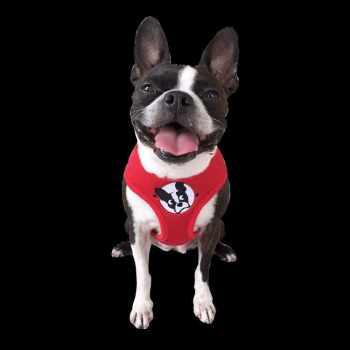 Boston Terrier Rescue Tampa