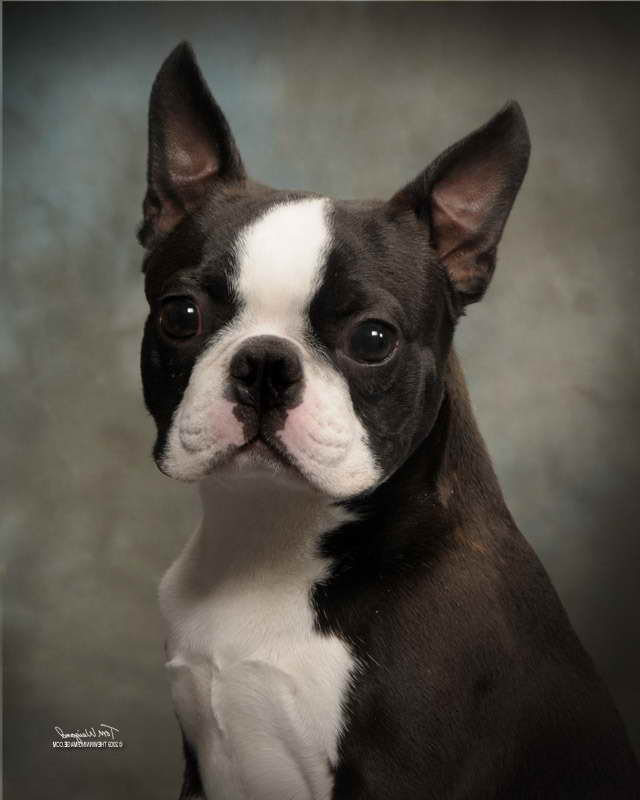 Boston Terrier Rescue Washington State