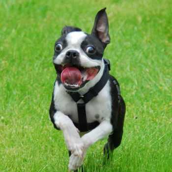 Boston Terrier Seattle