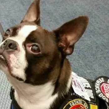 Boston Terrier Service Dog