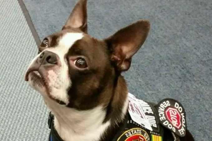 Boston Terrier Service Dog