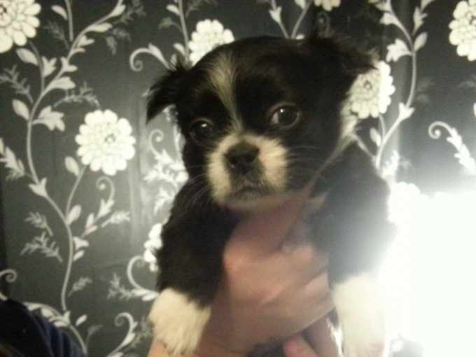 Boston Terrier Shih Tzu Mix Puppies For Sale