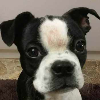 Boston Terrier Skin Rash