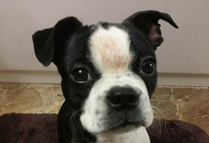 Boston Terrier Skin Rashes