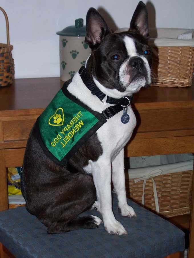 Boston Terrier Therapy Dog
